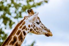 Giraffe head Stock Images