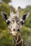 Giraffe head up close. Giraffe looking up close with trees in the background Stock Image
