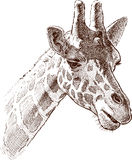 Giraffe head. Vector drawing of the portrait of a young giraffe Stock Photography
