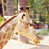 Giraffe Head Royalty Free Stock Photo