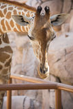 Giraffe head in Zoo Stock Photos
