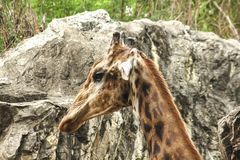 Giraffe head In the zoo walking royalty free stock photos