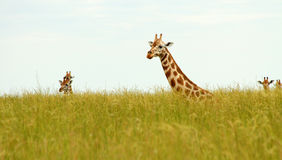 Giraffe Heads Poking up out of Savannah Grass Royalty Free Stock Photography
