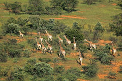 Giraffe herd Stock Photos