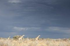 Giraffe herd Stock Photography