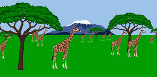 Giraffe herd in african scenery. Illustration of a Giraffe  herd in African scenery with mount Kilimanjaro in the background Stock Photography