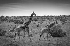 Giraffe herd. In the Eastern Cape, South Africa Stock Photography