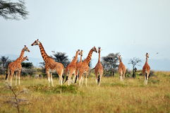 Giraffe herd in savannah Stock Images