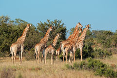 Giraffe herd Royalty Free Stock Images