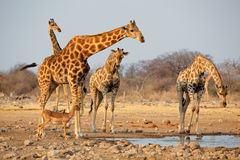 Giraffe herd at waterhole Royalty Free Stock Image