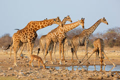 Giraffe herd at waterhole Royalty Free Stock Photos
