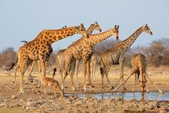 Giraffe herd at waterhole Royalty Free Stock Photos