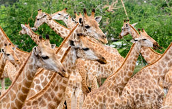 Giraffe herd Royalty Free Stock Photo