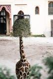 Giraffe. Hide giraffe in a zoo Stock Photo