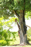Giraffe Hiding. Reticulated Giraffe half-hidden behind a tree in a South Florida zoo royalty free stock photography