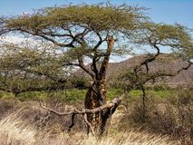 Giraffe hiding behind acacia tree stock photography