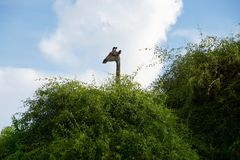 Giraffe hiding behind a green bush. Photo taken in beautiful Royalty Free Stock Image