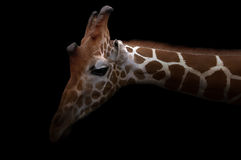 Giraffe hiding in the dark Royalty Free Stock Photos