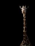 Giraffe hiding in the dark Stock Images
