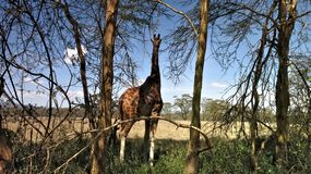 A giraffe hiding between the trees in Naivasha National Park Kenya stock photos