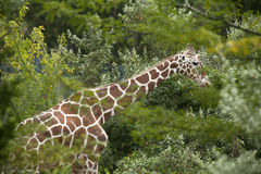 Giraffe hiding in the trees Royalty Free Stock Images