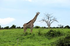 Giraffe on the hillside with a tree Royalty Free Stock Photos