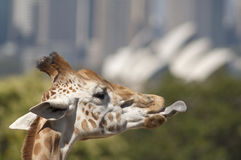 Giraffe with his tongue out. Giraffe with his tongue out at Sydney zoo Australia with city in background Stock Photography