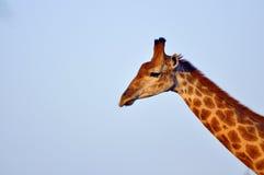 Giraffe in Hlane Stock Photo