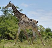 Giraffe in Hluhluwe-Umfolozi Game Reserve. Giraffe with Two Birds Hitching a Ride Stock Photos