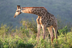 Giraffe in Hluhluwe-Umfolozi Park Stock Image
