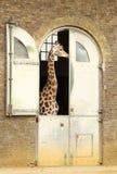Giraffe House. A giraffe inside an enclosure Royalty Free Stock Photos