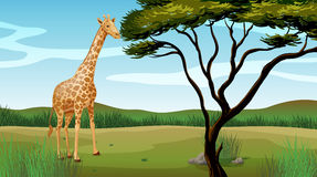 A giraffe Stock Photos