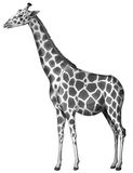 A giraffe. Illustration of a giraffe on a white background Royalty Free Stock Image