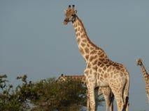 Giraffe im Νότια Αφρική Στοκ Εικόνα