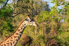 Giraffe im Abschluss oben in der afrikanischen Landschaft Stockbild