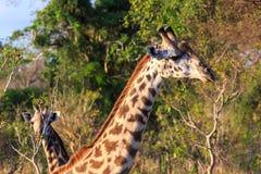 Giraffe im Abschluss oben in der afrikanischen Landschaft Stockbilder