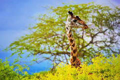 Giraffe im Busch. Safari in Tsavo West, Kenia, Afrika Stockbild