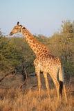 Giraffe im natürlichen Lebensraum Lizenzfreie Stockfotografie