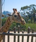 Giraffe im Taronga Zoo, Sydney stockfotografie