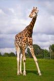 Giraffe im Tierpark Stockbild