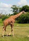 Giraffe im wilden Stockfoto