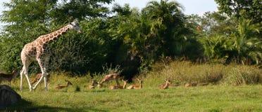 Giraffe im wilden Stockfotografie