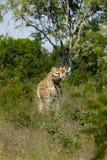 Giraffe im wilden lizenzfreies stockbild