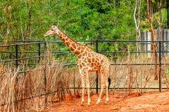 Giraffe im Zoo Stockbilder