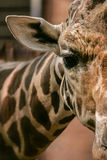 Giraffe image Royalty Free Stock Photo