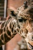 Giraffe image Royalty Free Stock Image