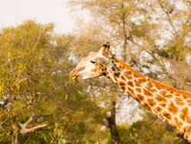 Giraffe image of neck and head munching on green stork and showing the animals skin pattern and coloration. royalty free stock image