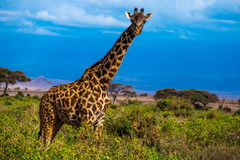 Giraffe. Image of savannah animals, giraffe Royalty Free Stock Photography