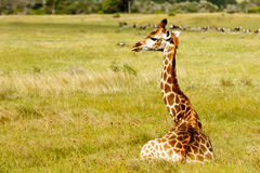 Giraffe. Image Taken at The Kragga Kamma Game Park royalty free stock photography