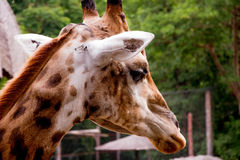 Giraffe. This image was take from the Bangkok Khao Din Zoo This zoo has many animals that I choose the giraffe because the giraffe is cute animals are animals stock image